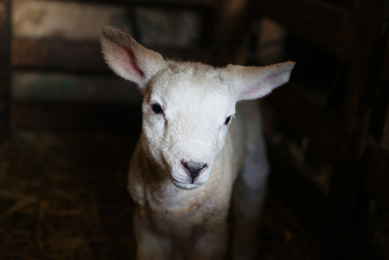 Norfolk lambing day (10)
