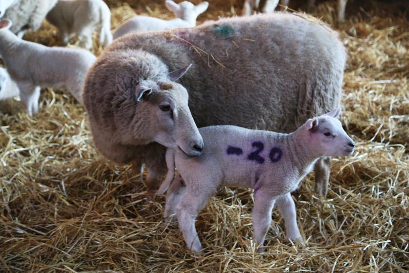 Norfolk lambing day (19)