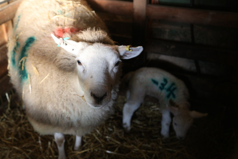 Norfolk lambing day (2)