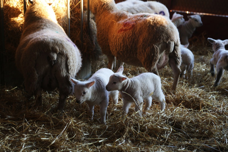 Norfolk lambing day (20)
