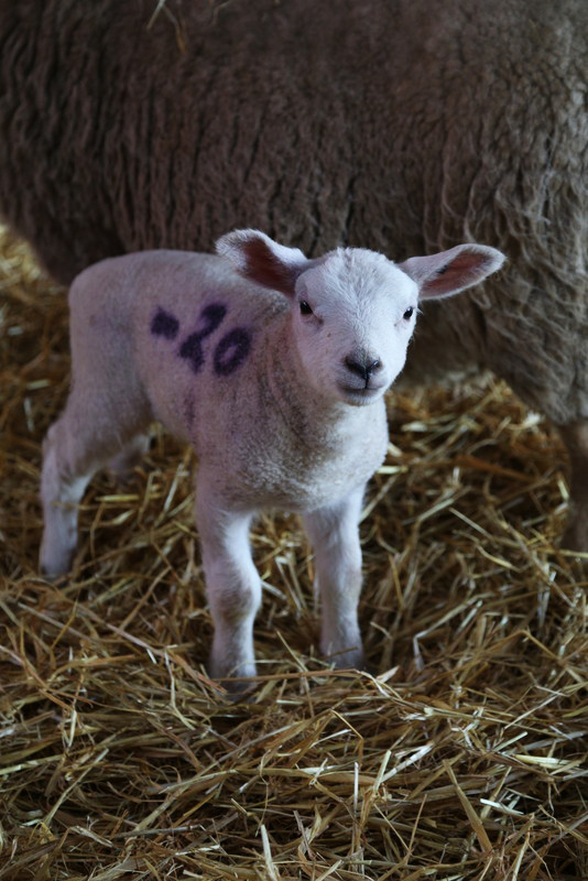 Norfolk lambing day (21)