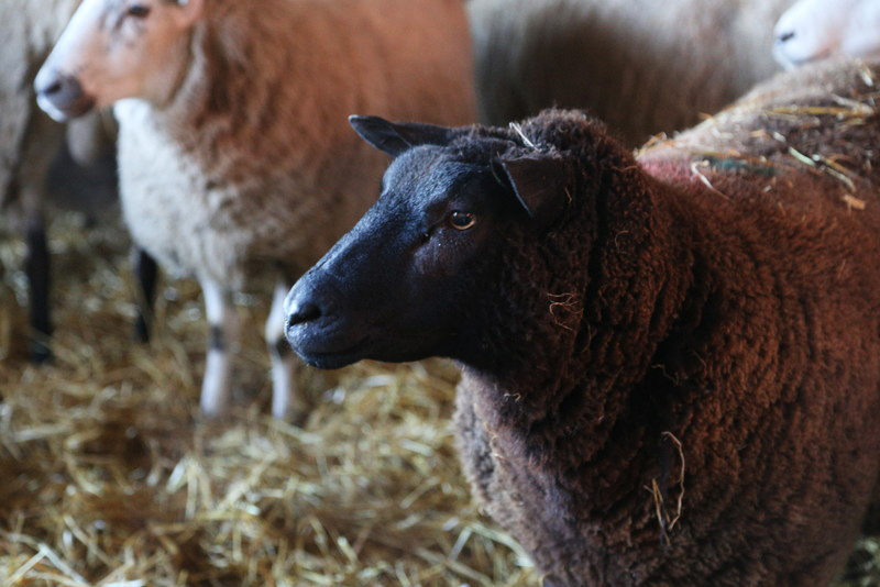 Norfolk lambing day (24)