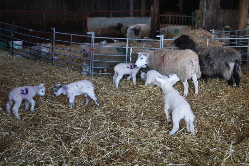 Norfolk lambing day (25)