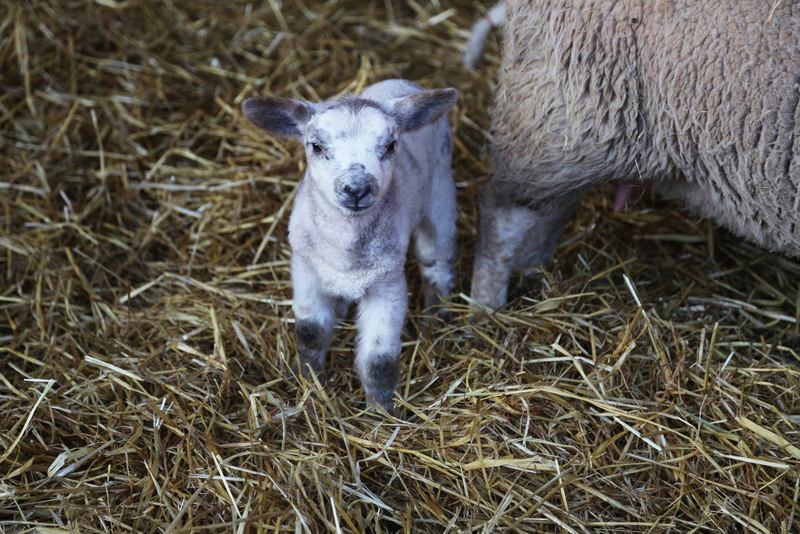 Norfolk lambing day (27)