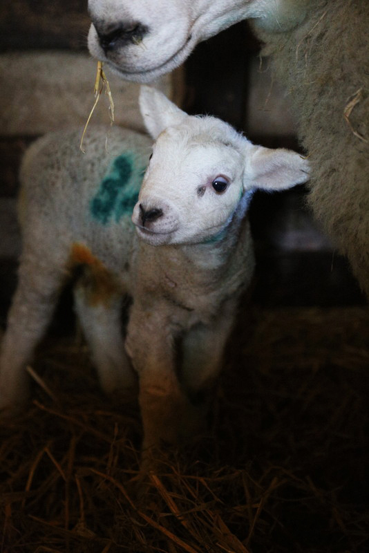 Norfolk lambing day (5)