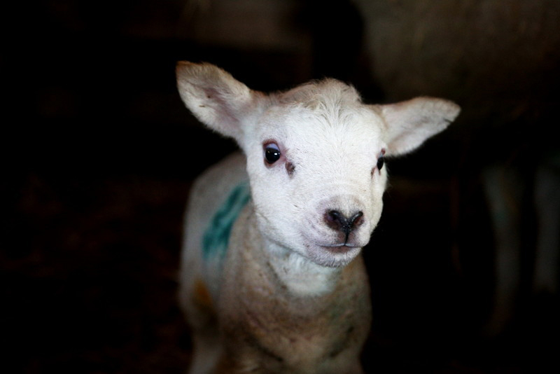 Norfolk lambing day (6)